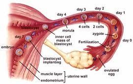vad händer vid ägglossning