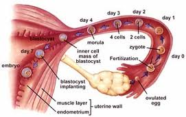 hur länge lever spermier i livmodern